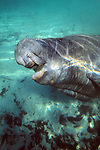Manatee With Mouth Open