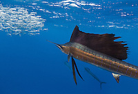 TK0039-D. Atlantic Sailfish (Istiophorus albicans) feeding on Spanish sardines (Sardinella aurita). It uses its sharp bill like a sword to slash at the baitball, knocking a sardine or two out of the school and stunning it. Then the sailfish swallows the sardine whole. Gulf of Mexico, Mexico, Caribbean Sea.<br /> Photo Copyright &copy; Brandon Cole. All rights reserved worldwide.  www.brandoncole.com