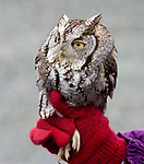 SOUTHBURY, CT-011518JS06---A Screech Owl, that was injured, but rehabilitated through Horizon Wings Raptor Rehabilitation and Education of Ashford, was released back into the wild in Southbury on Monday. <br /> Jim Shannon Republican-American