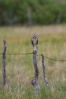 Sumpfohreule sitzt auf Zaunpfahl in einer Wiese, Sumpf-Ohreule, Asio flammeus, short-eared owl