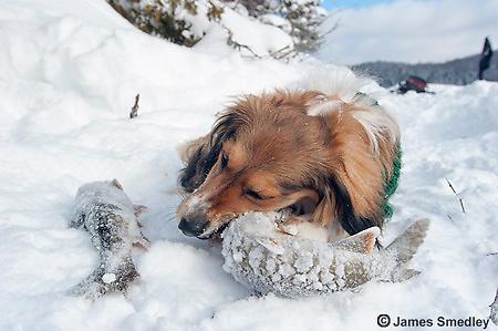 Ice fishing dog eats Lake trout