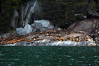 Steller's sea lion rookery