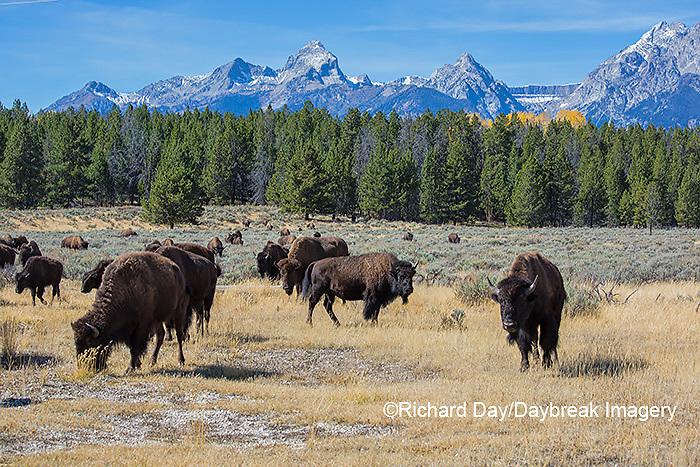 01985-02716 Bison (Bison bison) Grand Teton National Park, WY