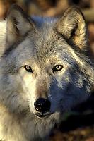 Arctic Wolf Portrait  #Z7