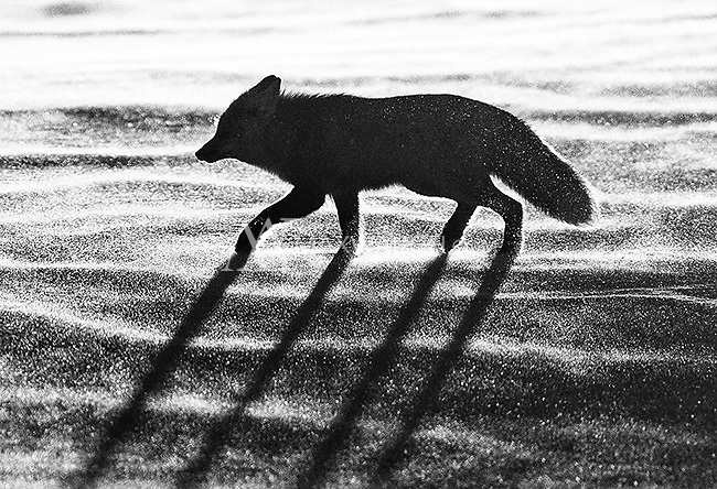 This fox was traversing a hillside in Hayden Valley just as the sun was setting directly behind it.