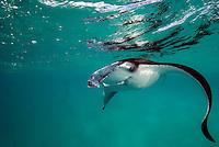 Fishes_Sharks- Rays-Skates_Elasmobranchii and Chimaera_Holocephali