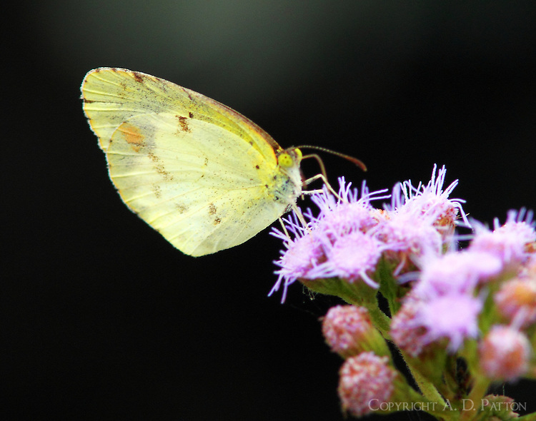 Little yellow sulphur