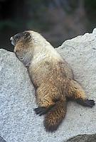 Marmot sunning on rock, Mt. Rainier National Park, Washington