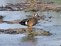 Adult male blue-winged teal standing on mud flat