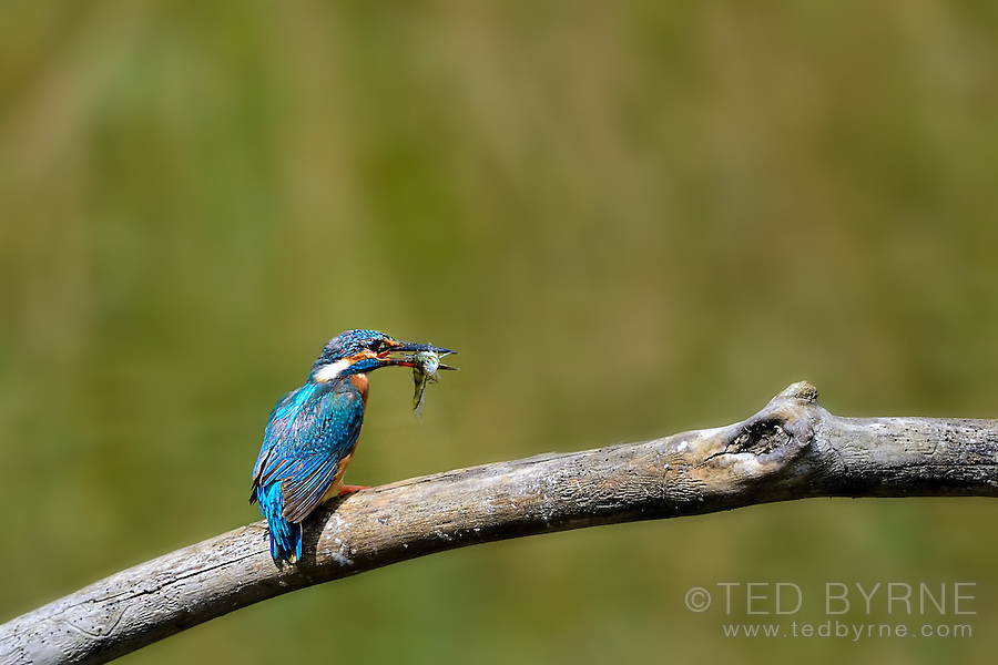 Kingfisher on a branch with minnow