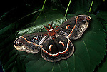 Columbia silkworm moth