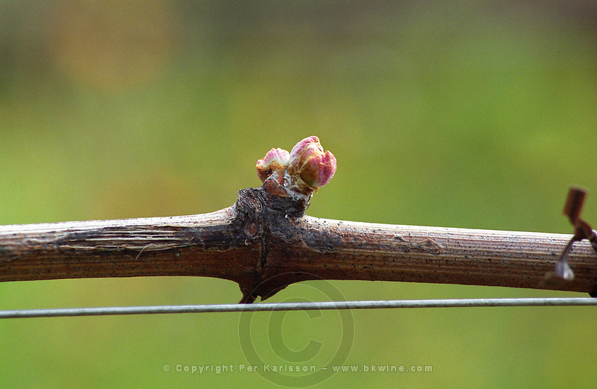 Twig of vine with a small leaf bud. Chateau Beau-Sejour-Becot. Saint Emilion, Bordeaux, France