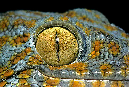 GK05-001b  Tokay Gecko - eye slit closed in bright light -  Gekko gecko