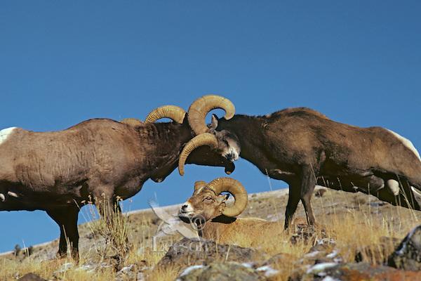 Two bighorn sheep rams butt heads as third ram looks on, Northern Rockies.  Fall.