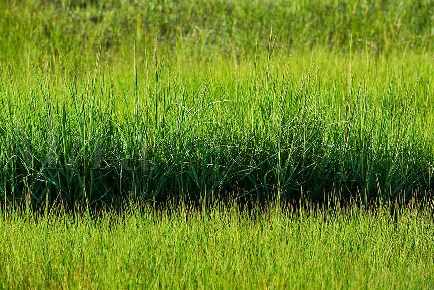 Salt marsh grass.