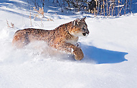 Young mountain lion (Felis concolor) running in fresh snow