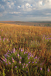 dotted blazing star (Liatris punctata) in tallgrass prairie, Tallgrass Prairie National Preserve, Kansas