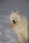 Samoyed posed in the snow Shopping cart has 3 Tabs:<br />