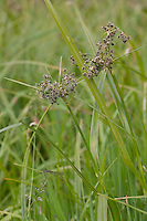 Wald-Simse, Waldsimse, Simse, Scirpus sylvaticus, Wood Club Rush, Scirpe des bois