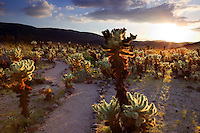 "Cholla cactus in ""Cholla Garden"" at sunset. Joshua Tree National Park, California"