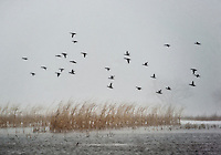 Ducks fly over water during a hunting trip just off the duck-rich Platte River in Nebraska, Saturday, December 3, 2011...Photo by Matt Nager