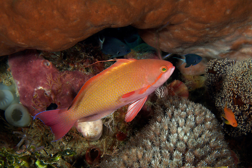 The Lyretail Anthias is also known as the lyretail coralfish, lyretail anthias, scalefin anthia, or most commonly the Sea Goldie.