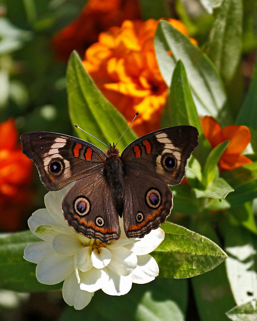 Beautiful Common Buckeye with wings spread showing the markings of this butterfly that is anything but common. It is sitting on a white flower surrounded by green leaves and orange flowers that match the bands on the Buckeye.