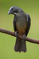 Grayish Saltator, Saltator coerulescens