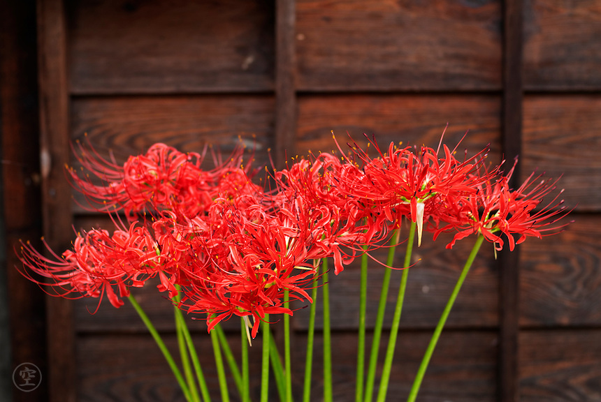 Higanbana bloom red in the autumn against the traditional wooden boards of a Japanese house in Tsumago, Japan.
