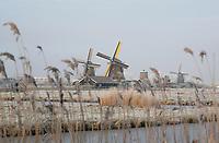 Nederland Zaanse Schans. 2017-01-18 .  Winter in Zaanse Schans.  Rijp op hert riet in de Kalverpolder. Foto Berlinda van Dam / Hollandse Hoogte