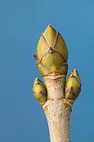 Berg-Ahorn, Bergahorn, Ahorn, Knospe, Knospen, Acer pseudoplatanus, Sycamore, Maple, Erable sycomore, bud, buds, L'érable sycomore, grand érable, érable de montagne, érable blanc