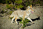 A northern coyote, Canis latrans incolatus, in the northern mountains of British Columbia.