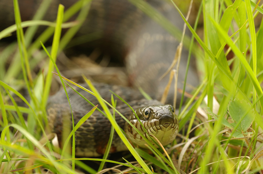 This huge Northern Watersnake was soaking up some hazy sunshine near the edge of a large wetland area. I am most grateful to have seen it before I stepped on it !