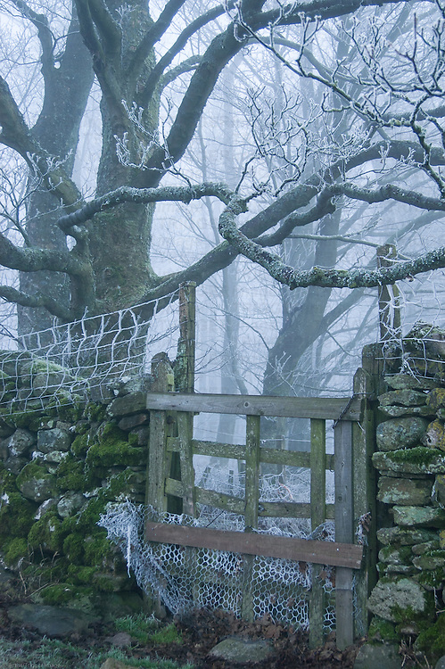 Frost covered trees behind a dry stone wall on a misty morning. Lake District, Cumbria, UK