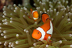 True clownfish (Amphiprion percula)