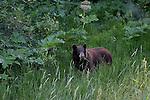 Grizzly bear; Ursus arctos