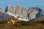 Guanaco (Lama guanicoe) in front of mountains, Torres del Paine, Torres del Paine National Park, Patagonia, Chile
