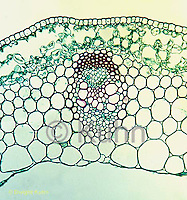 PX05-017d  Buttercup Stem - cx showing vascular bundle  - Ranunculus spp  100x