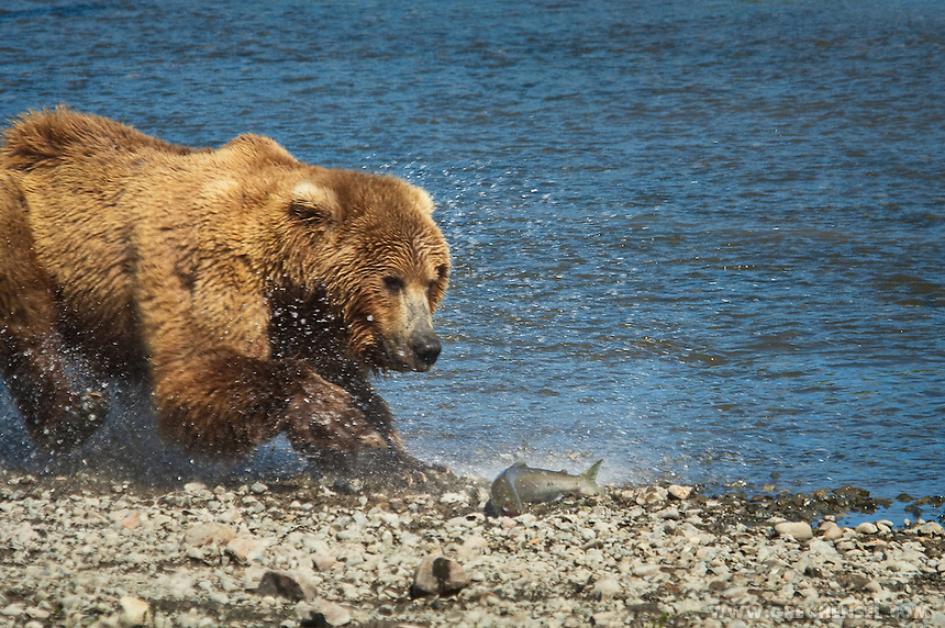 A Bear Brown chases Salmon onto shore at Mikfik Creek. Summer at McNeil River Bear Sanctuary in Southwest Alaska.