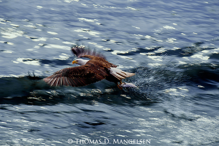 A bald eagle flies with a fish in its talons in Kachemak Bay, Alaska.