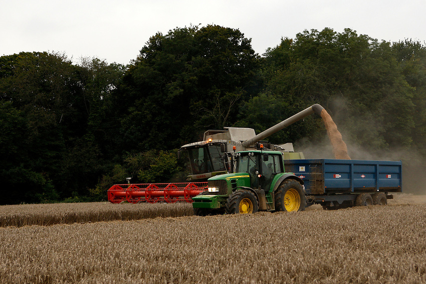 Photo: Richard Lane/Richard Lane Photography. Grain harvest near Little Missenden, Buckinghamshire. A Class combine harvester cutting winter wheat unloads into a tractor and trailer. 16/09/2008.