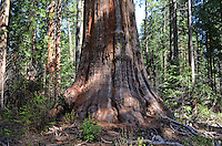 Sequoia,aka California redwood, in Calaveras Big Trees State Park, California, USA, 201304211667<br />