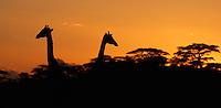 Masai Giraffe, Giraffa camelopardalis tippelskirchii, Serengeti NP, Tanzania