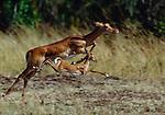 Impala kid runs with mom, Masai Mara National Reserve, Kenya