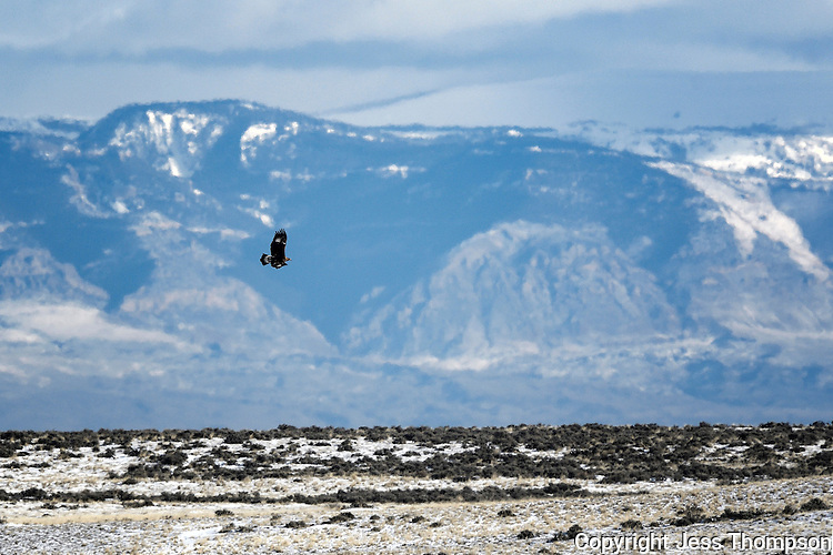 Golden Eagle in flight, McCullough Peaks Wild Horse Range