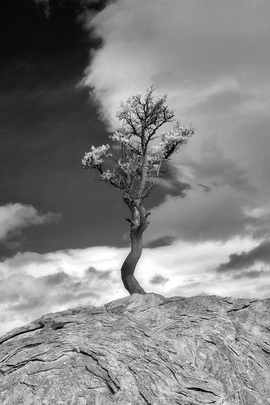 Lone stuggling pine tree. growing out of huge rock boulder. Yellowstone National Park, WY