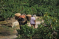 Europe/France/Languedoc-Roussillon/66/Pyrénées-Orientales/Environs Banyuls-sur-Mer : vendanges traditionnelles avec le mulet, AOC Banyuls [Non destiné à un usage publicitaire - Not intended for an advertising use]<br /> PHOTO D'ARCHIVES // ARCHIVAL IMAGES<br /> FRANCE 1990