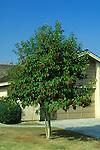 6680-CB Glossy Privet, Ligustrum lucidum, tree in fruit on lawn, at Bakersfield