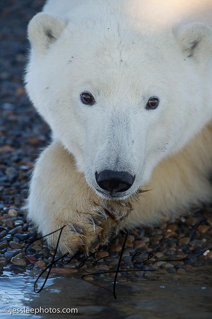 Polar Bear on the shore of the Beaufort Sea.