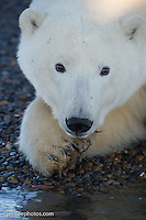 Polar Bear on the shore of the Beaufort Sea.